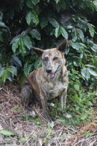 Dogs of Coffee, Sumatra