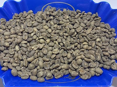 Examining green, unroasted decaf coffee from Swiss Water Process in a blue coffee tray.