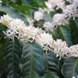 Panama Coffee Farm Visits, Boquete and Volcan Paso Ancho