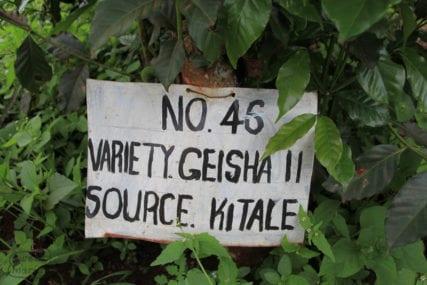Gesha 11 coffee variety at Kenya coffee research