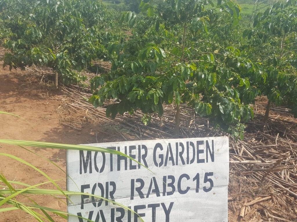 Working to develop disease-resistant varieties, such as the Rwanda-created RAB C15