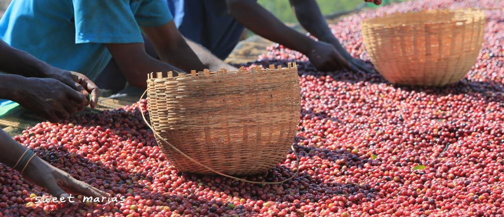 At the Hambela coffee mill, this whole coffee cherry laid to dry for 'naturals' is sifted through by hand in order to remove under and over ripe coffee.