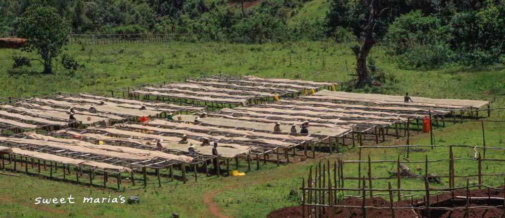 Workers turn the parchment covered coffee as it dries on raised beds at the Nano Challa site, Gera region.